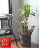 観葉植物 幸福の木 バスケット・鉢皿付き マッサン 7号【開店祝い】【新築祝い】【誕生日】
