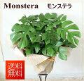 観葉植物ヒメモンステラ【モンステラ】【開店祝い】【新築祝い】【誕生日】