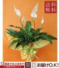 季節の鉢花スパティーフィラム鉢花【開店祝い】【新築祝い】【誕生日】