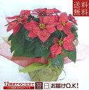 季節の鉢花 ポインセチア ラメ付き!5号鉢【送料無料】【あす...