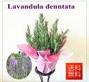季節の鉢花ラベンダーデンターダ5号バスケット付き送料無料あす楽対応