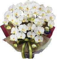 光触媒*胡蝶蘭5本立ホワイト色《送料無料/花のサイズ9cm/豪華仕様/選べる鉢/造花/ギフト対応/コチョウラン》