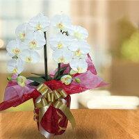敬老の日胡蝶蘭2本光触媒造花開店祝い