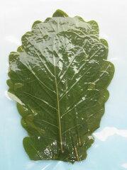 きれいな緑色の柏葉です。■柏葉(緑)20枚■