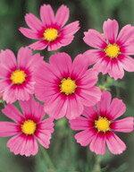 【花の種】【花 種】切り花向けにサカタのタネが育成した花径約8cmの大輪種です。整った花形に...