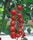 葉かび病(Cf9)、斑点病耐病性の糖度が高く、食味にすぐれたミニトマト!【ミニトマト種子】 ...