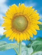 【 花の種 】【花 種】【花種子】【花の種】【 サカタ 種 】草丈は約200cm、先端が明るい黄色...