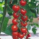 ファイトリッチシリーズ タキイ種苗 ミニトマト種子 CF千果 1000粒