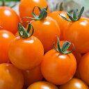 ファイトリッチシリーズ タキイ種苗 ミニトマト種子 オレンジ千果 1000粒