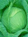 キャベツ種子日本農林社さつき女王ペレット5000粒