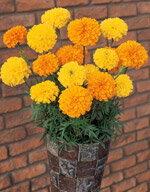 【花の種】【花 種】花径約8cmのアフリカン系大輪品種。約1mに伸び、花壇植えで存在感が際立つ...