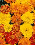 【花種子】花径が7cm近くになるフレンチ系の大輪種【花種子】【マリーゴールド】サファリミック...