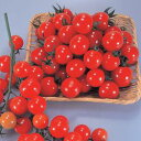 ミニトマト種子 トキタ種苗 サンチェリー250 100粒