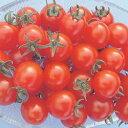 ミニトマト種子 トキタ種苗 サンチェリーエキストラ 1000粒