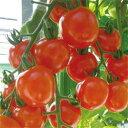 ミニトマト種子 トキタ種苗 サンチェリーピュア 100粒
