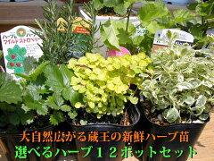 新鮮ハーブ苗ポット12セット送料無料!40種以上の中からお好きな種類を!ガーデニングに最適の苗...