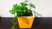 シュガーバイン ハイドロカルチャー 観葉植物 グロッシーイエローポット【観葉植物 モダン インテリア 引越し祝い つる性 誕生日 簡単 可愛い 育てやすい】