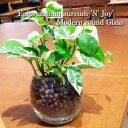 送料無料 観葉植物ポトス エンジョイ 観葉植物 ハイドロカルチャー 高さ15cm程度 丸 ラウンド グラス ガラス 【 受賞 陶器 誕生日 風水 ユーロプランツ お祝い おしゃれ