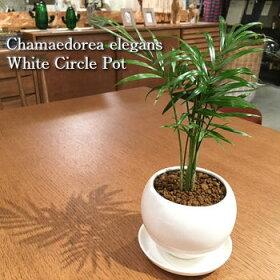 艶やかで丈夫な葉が魅力的なテーブルヤシ