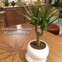 【送料無料】ドラセナ コンシンネ 鉢植え 高さ20cm程度 観葉植物 ...