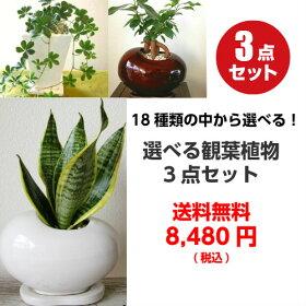 ミニ観葉植物お得な選べる3点セット【ハイドロカルチャー観葉植物鉢植え陶器ガジュマルギフト】