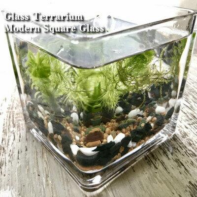 減農薬水草テラリウムキット角グラス10cmアクアリウム人気水草3種入り麦飯石と竹炭入り砂利付きガラス 作成キットメダカアカヒ