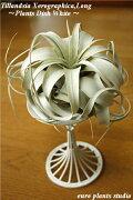 エアープランツ キセログラフィカ PlantsDish プレゼント インテリア