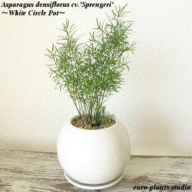 ピンと伸びた葉がスタイリッシュなアスパラガス・スプレンゲリー