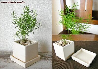 年中愉しめる観葉植物スプレンゲリー