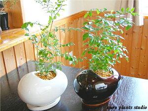 艶やかな葉と背高いがインテリア性抜群で大人気♪空気正常効果も抜群です!Fraxinus griffithii...