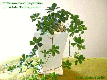 可愛らしい葉が人気のつる性、観葉植物、シュガーバイン