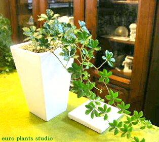 人気のつる性観葉植物、シュガーバイン