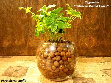 可愛らしい葉が人気のつる性観葉植物、シュガーバイン