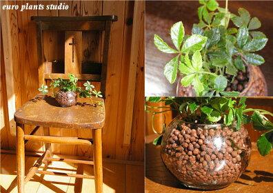 育てやすい、人気のつる性観葉植物、シュガーバイン