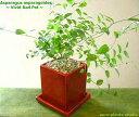 【送料無料】アスパラガス スマイラックス 観葉植物ヴィヴィッド レッド...