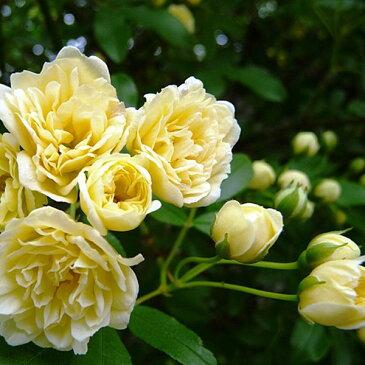 【ポイント最大25倍】 緑のカーテン ツル性植物 モッコウバラ 木香薔薇(黄)(大株) トゲなし 常緑つる性低木