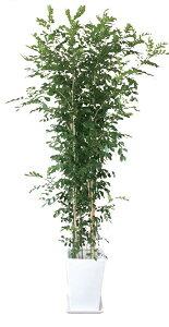 ゲッキツ(月橘シルクジャスミン)観葉植物陶器鉢プランター・皿付き1.4×0.6(7号)日なた常緑小高木