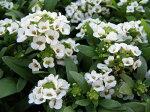 甘い香のお花!スウィートアリッサム4株【花苗】
