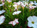 オキザリスパーシーカラー大苗♪球根草/赤と白の絞り咲きが魅力的なオキザリス/晴れるとパット開き、曇り時は紅白捻ったような面白い蕾を楽しませてくれる花です/花苗