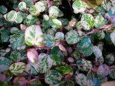 珍種!斑入りワイヤープランツ スポットライト苗 リーフプランツ 花苗 販売 通販 種類