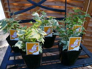 アイビー苗5種類セット/グリーン/リーフ/リーフプランツ/観葉植物/ミニグリーン/丈夫で育て易い...