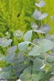 ユーカリ グニー  観葉植物  ハーブ ゆーかり 花粉対策にも効果ユーカリ