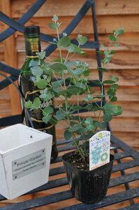 ユーカリグニー♪花粉症にも効果を発揮する植物観葉植物ユーカリハーブ入学式ホワイトデー花フラワー販売通販種類