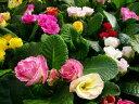 八重咲きジュリアン4株セット/バラのようなフリル咲きの花が可愛らしい品種で春まで次々と楽し...