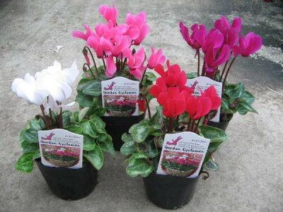 ガーデンシクラメン4株セット♪コンテナガーデンやプランター等によく合う花です【鉢花】