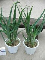 キダチアロエ2株セットアロエ木立アロエ観葉植物食用食べれるアロエヨーグルトに