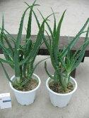 キダチ アロエ 2株セット アロエ 木立アロエ 観葉植物 キダチアロエ 食用 食べれる アロエ
