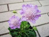 スカビオサ ピュアブルー 花苗 丈夫な宿根草で毎年楽しめ大株になるとたくさんの花を咲かせます 販売 通販 種類