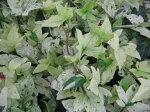 ヘデラ白雪姫白い葉が魅力リーフプランツ花苗販売通販種類