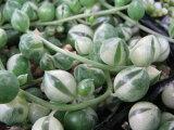 限定レア品種♪斑入りグリーンネックレス 観葉植物 多肉植物 販売 通販 種類 多肉女子